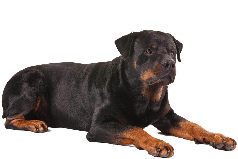 Rottweiler Dog Breed Information Rottweiler Most Expensive Dog Rottweiler Dog