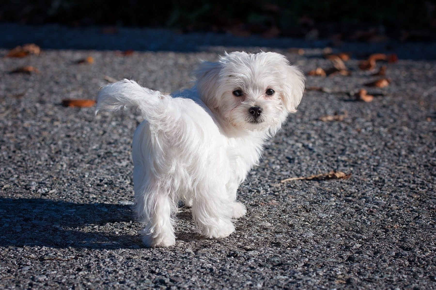 The Top 5 Maltese Haircut Styles For 2019 Dogs Maltese Maltese