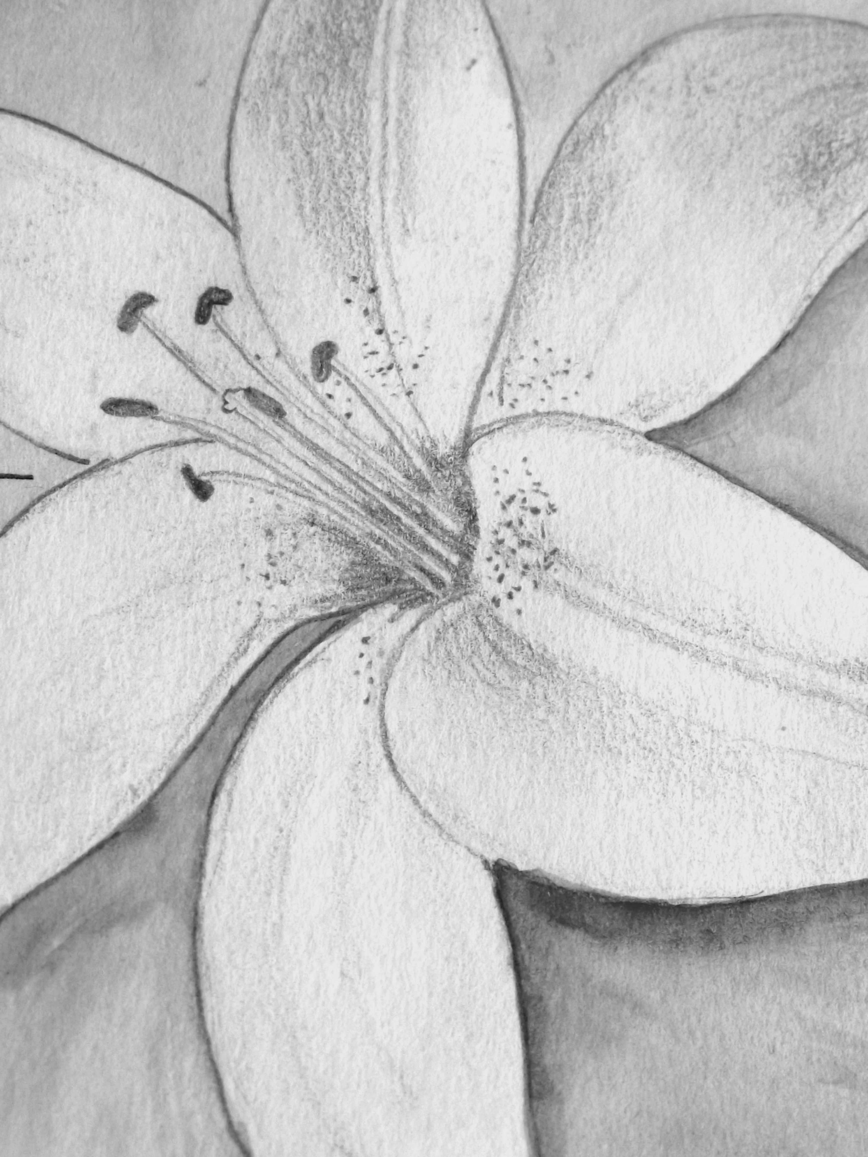 Pencil Drawing Of A Lily Brandys In 2018 Pinterest Drawings