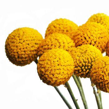Craspedia billy balls yellow flower billy balls wedding and weddings craspedia billy balls yellow flower mightylinksfo