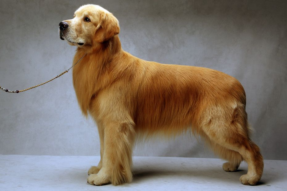 Westminster S Best Of Breed Golden Retriever Retriever Golden