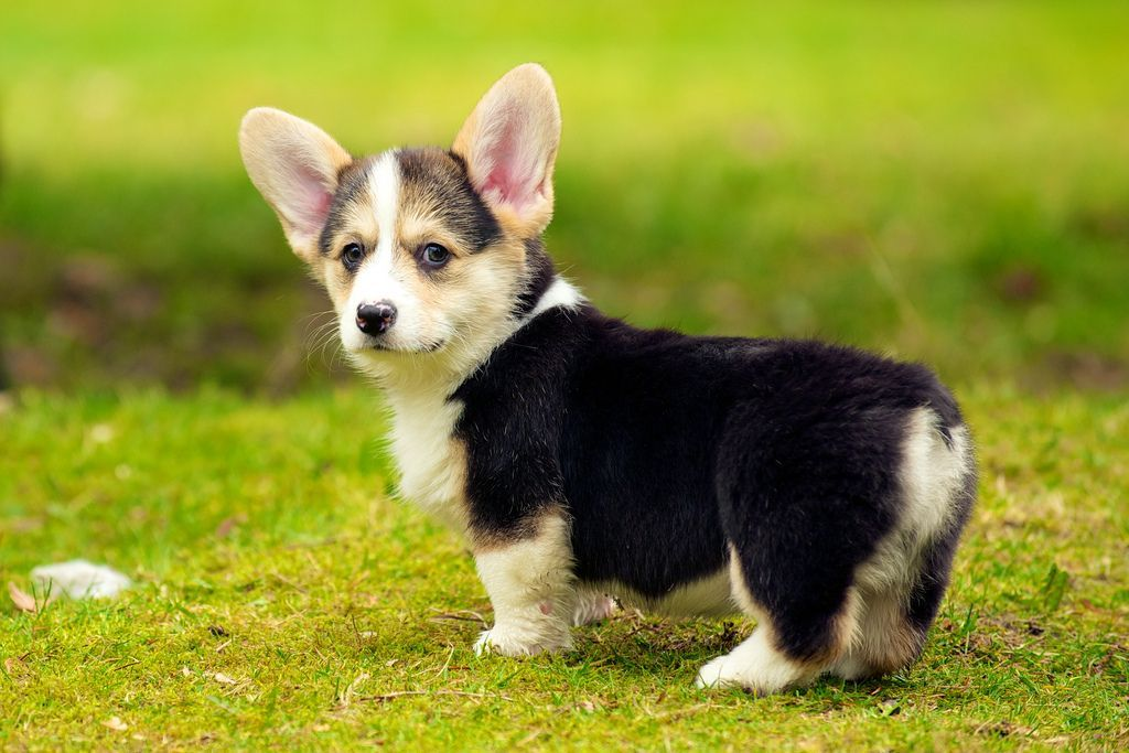 The 30 Cutest Corgi Puppies Of All Time Cute Small Dogs Welsh