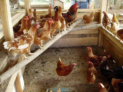 Cuidados del gallinero   Gallineros caseros, Gallineros, Gallinero