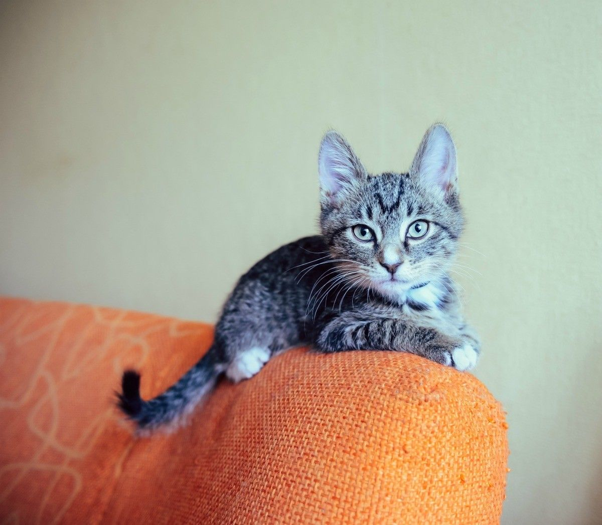 Keeping Cats from Peeing on a Couch Kitten proofing, Cat