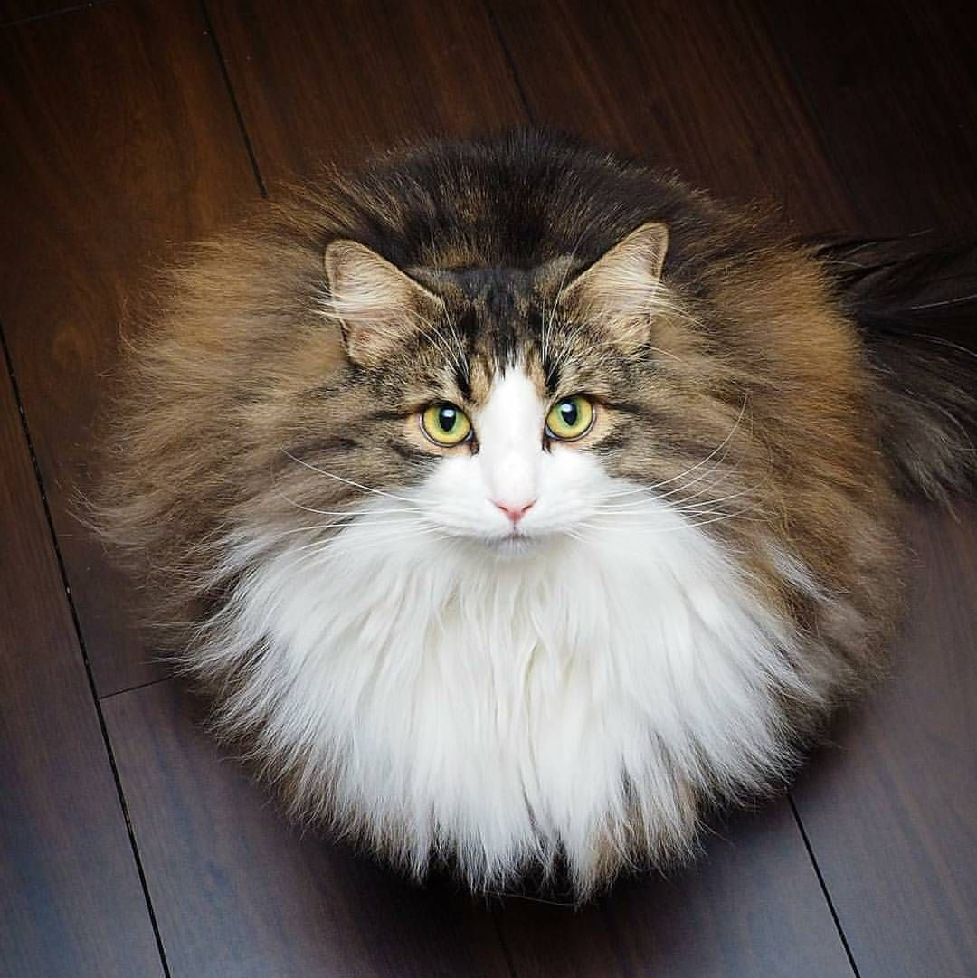 Cute Furball BooBooFashion Norwegian Forest Cat Pinterest - Meet the ridiculously fluffy kitty thats more cloud than cat