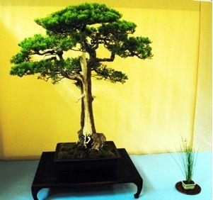 Jp Monterey Cypress Cupressus Macrocarpa Monterey Cypress Bonsai Plants