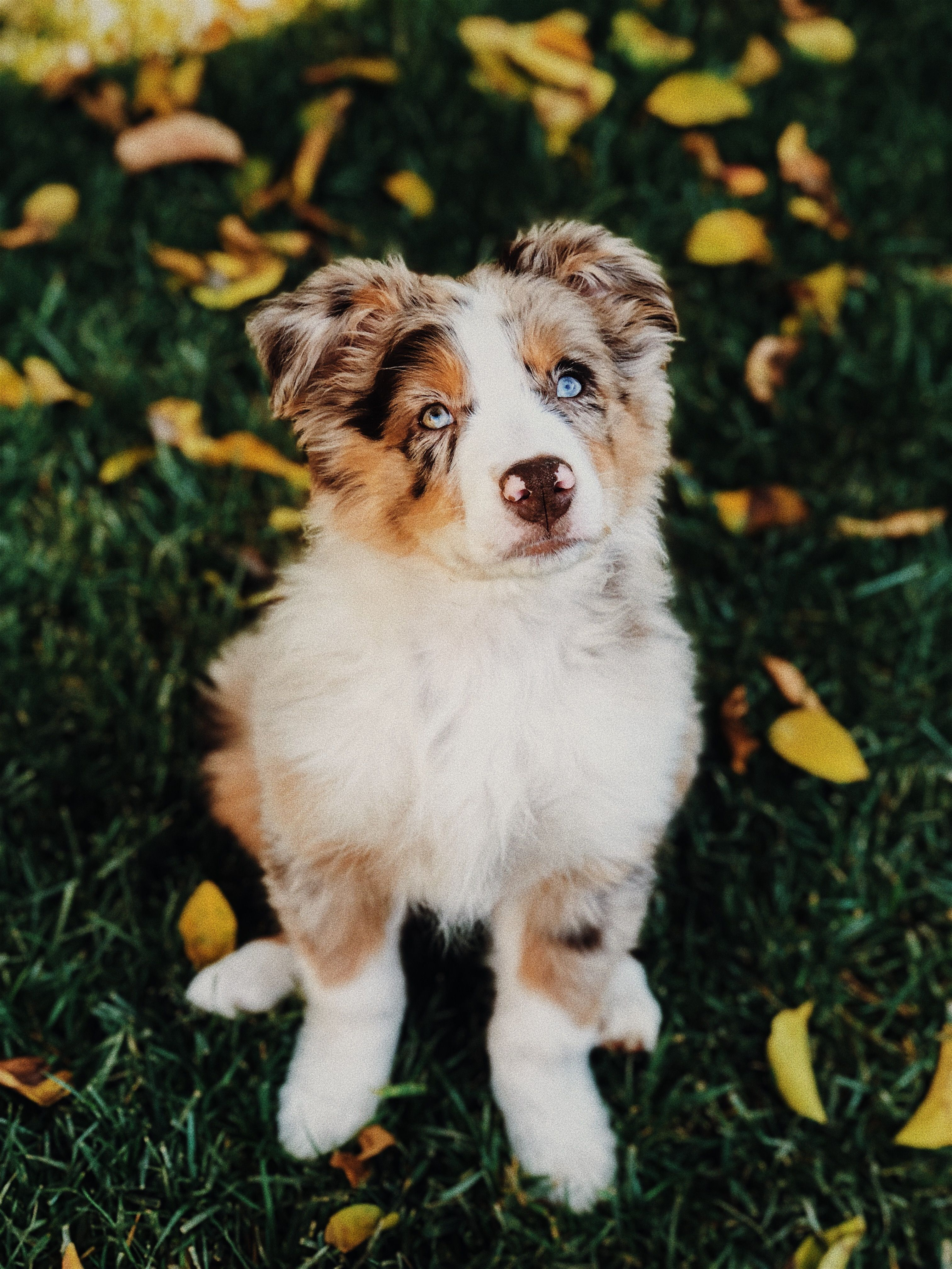 Blue Eyed Puppy Australian Shepherd Working Dogs Aussie Dogs