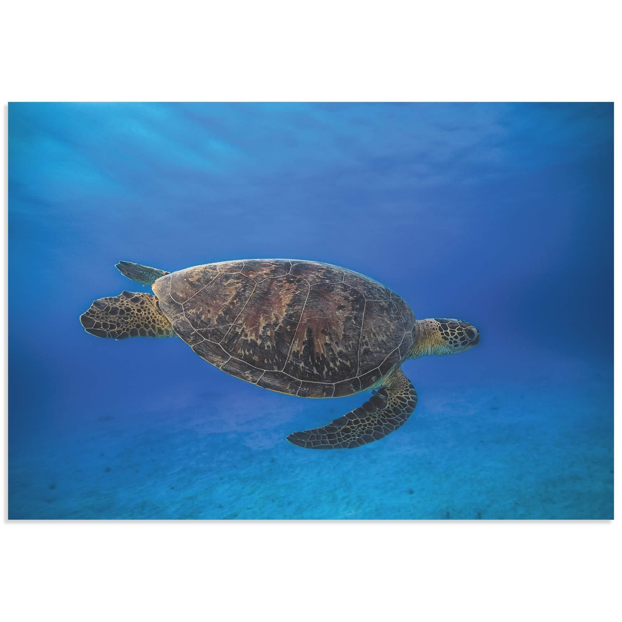 Barathieu Gabriel 'Green Turtle in the ' Sea Turtle Art on Metal or Acrylic