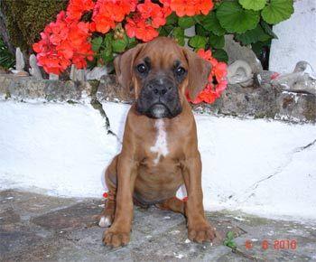 Boxer Marta Boxer Dog Breed Boxer Boxer Dogs