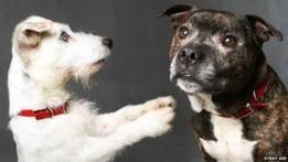 Inseparáveis, cachorrinhos ficam agitados e começam a latir se são separados, mesmo que seja por pou... - Copyright British Broadcasting Corporation 2015