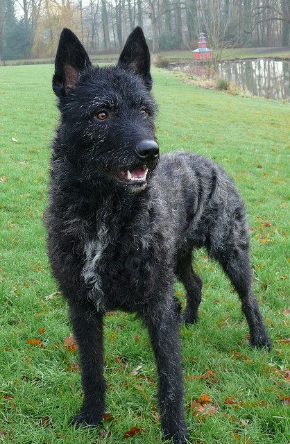 New to our list?: Rough-Haired Dutch Shepherd | Dogs | Dogs, Herding