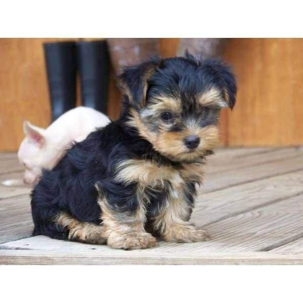 Cute And Charming Yorkie Now Ready Lowest Price My Gorgeous Tiny