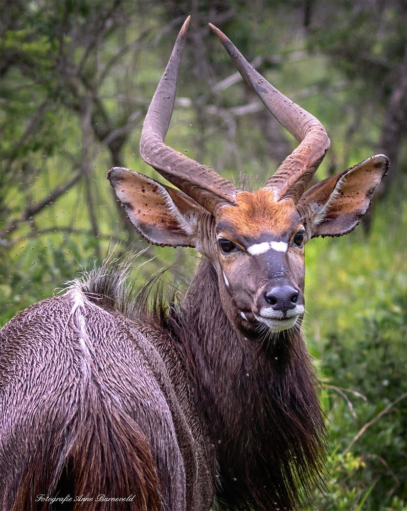 Nyala By Aj Barneveld On 500px South African Animals Big