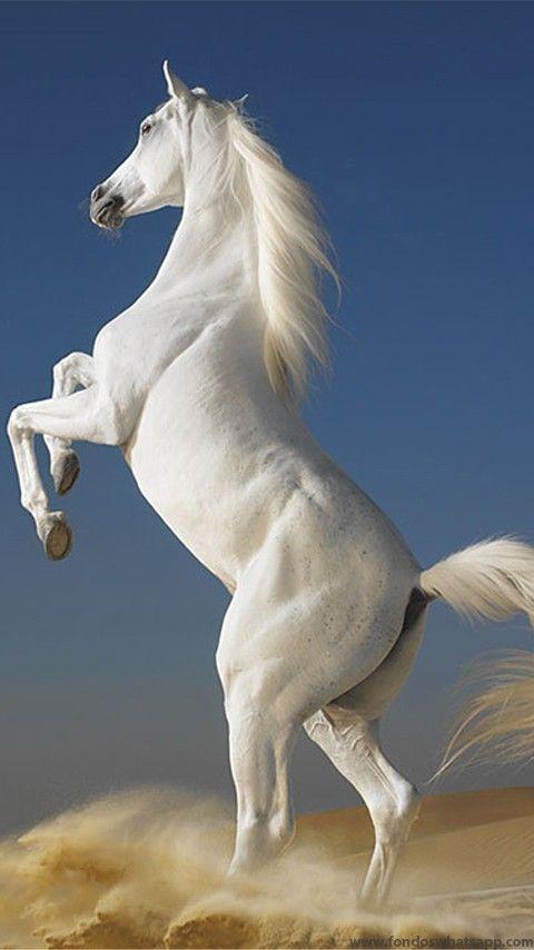 Descarga Fondo Caballo blanco para WhatsApp | Los caballos más ...