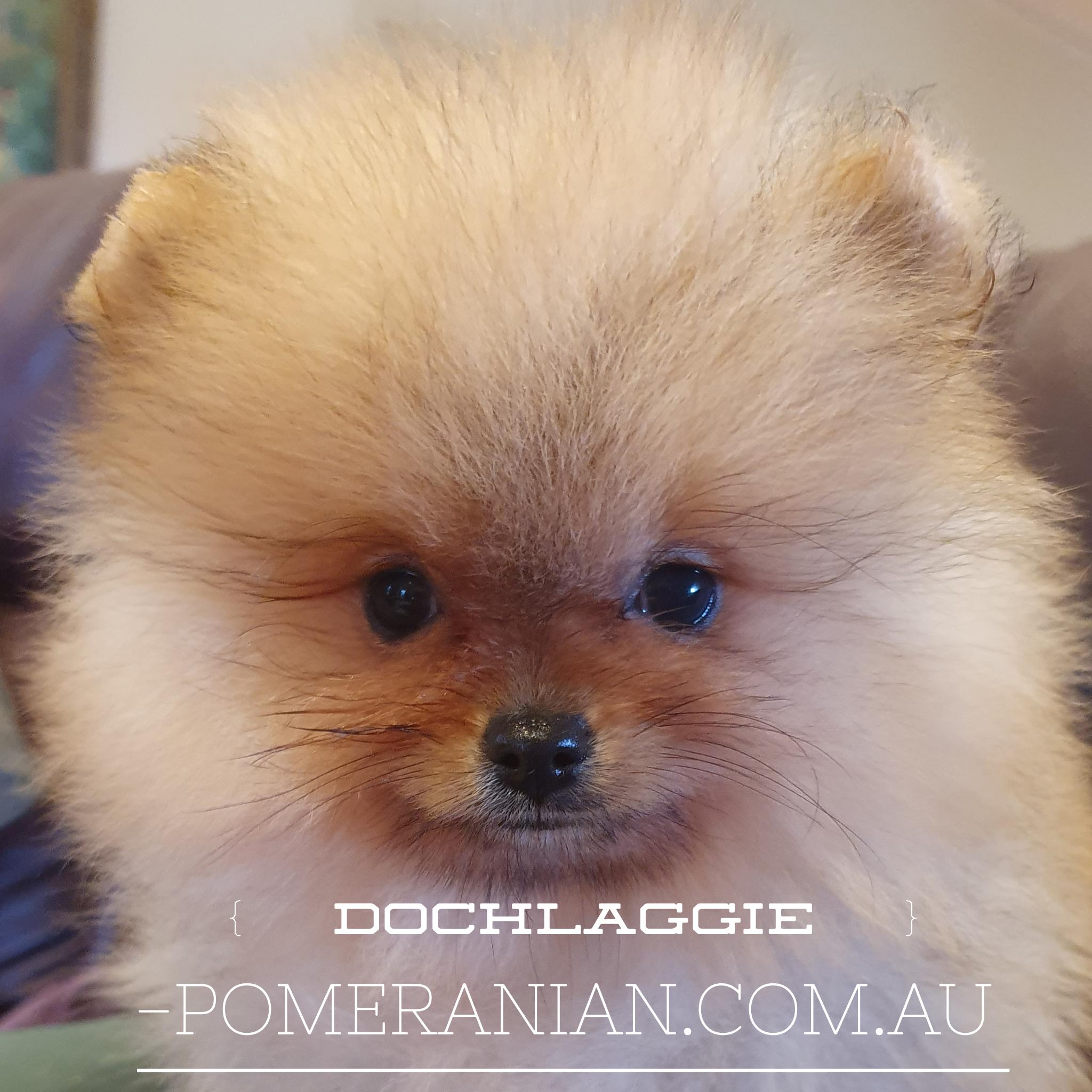 Dochlaggie Pomeranian Puppies Melbourne Dochlaggie Dochlaggiepomeranians Pomeranians Pomeranian Pomeraniandog Pomeranian Puppy Puppies Dog Quotes