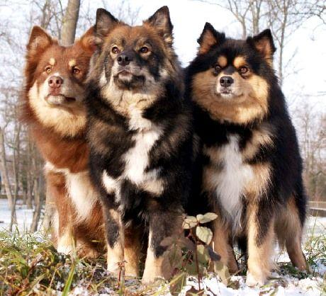 club de race chien finnois de laponie