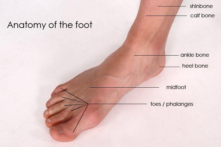 Foot Anatomy 06 Foot Anatomy Foot Anatomy Anatomy