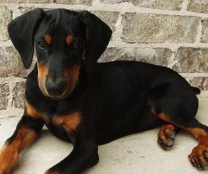 doberman pinscher   Razas de perros: Doberman Pinscher - German doberman