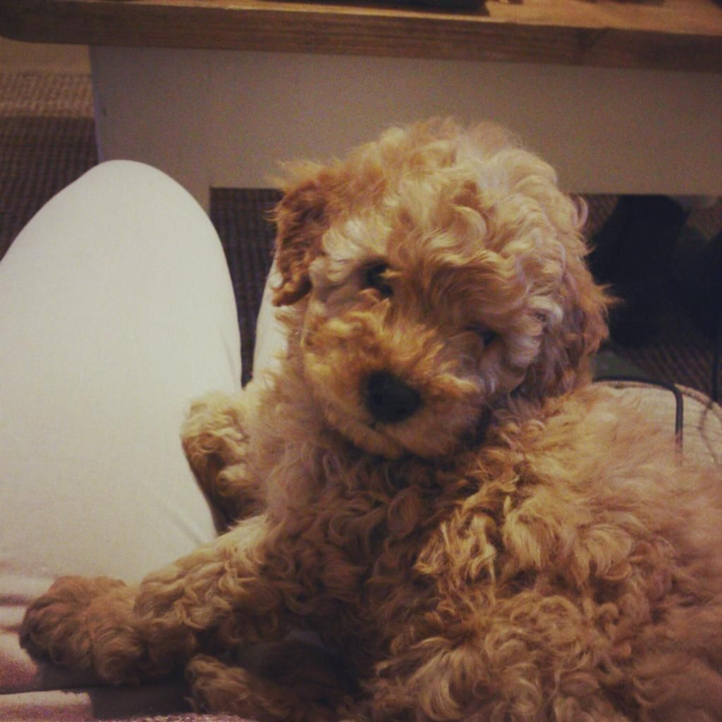 toy poodle full grown - Google Search | Doggy ...