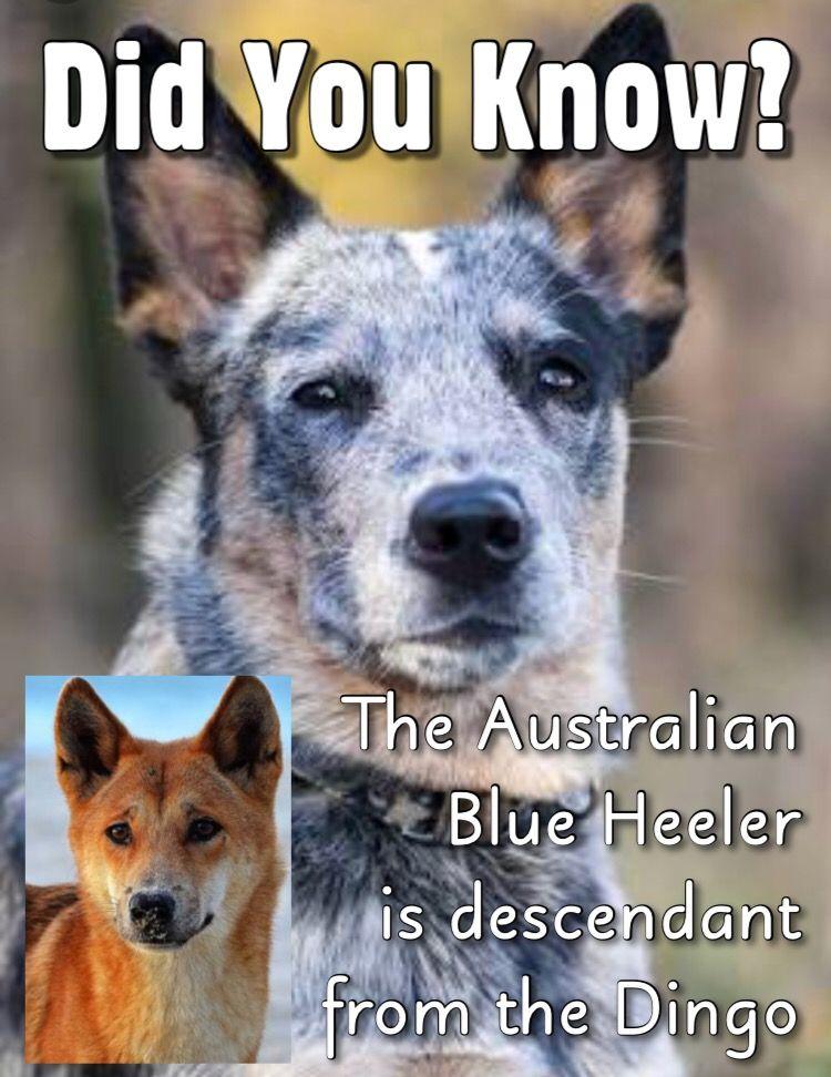 dingo didyouknow didyouknow? australia australian
