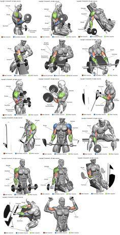 Biceps E Braquial Weightlossjumpstars Best Workout For Your Blood Type
