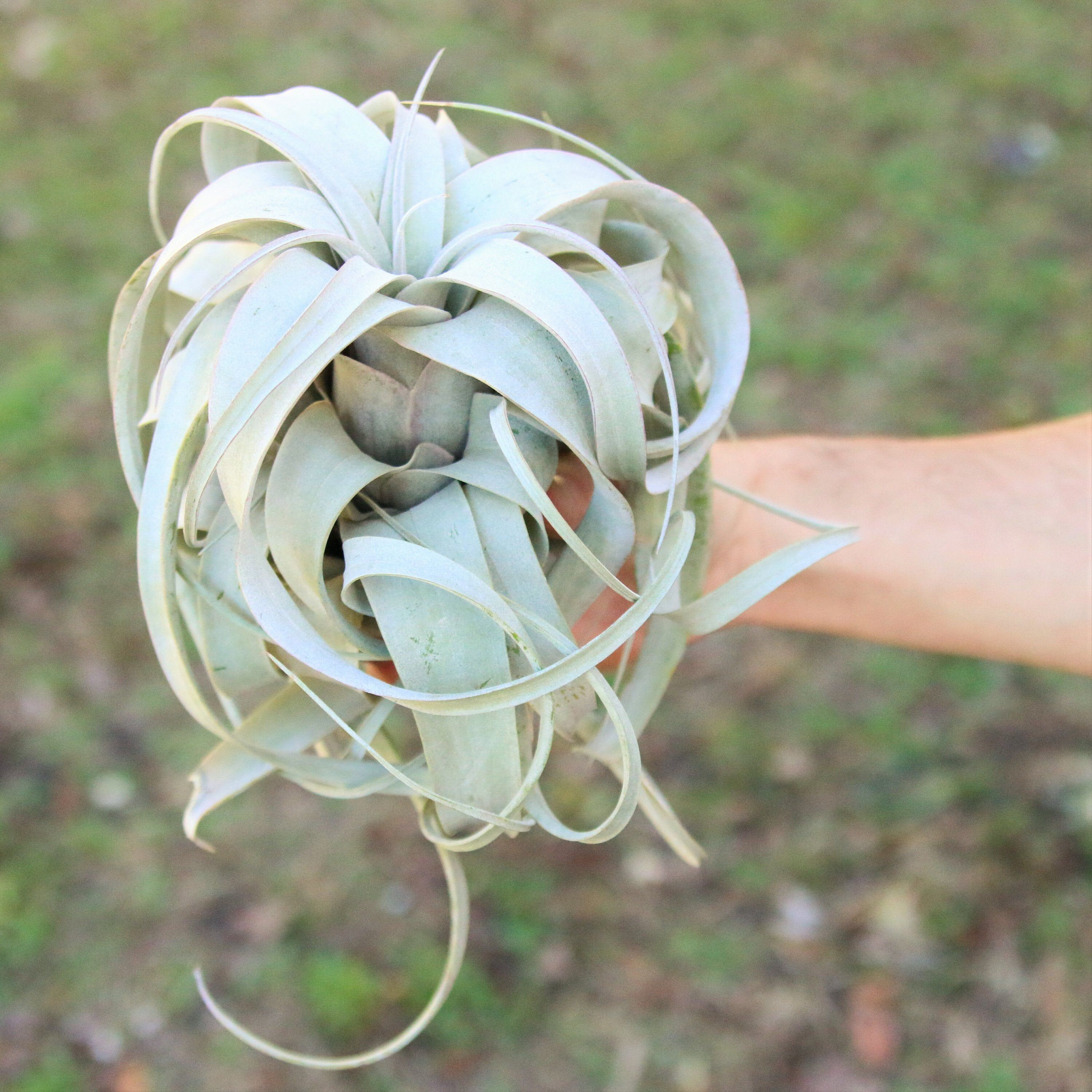 Large Air Plant Xerographica Air Plant Fast Free Shipping Etsy In 2020 Large Air Plants Air Plants Air Plants Wholesale
