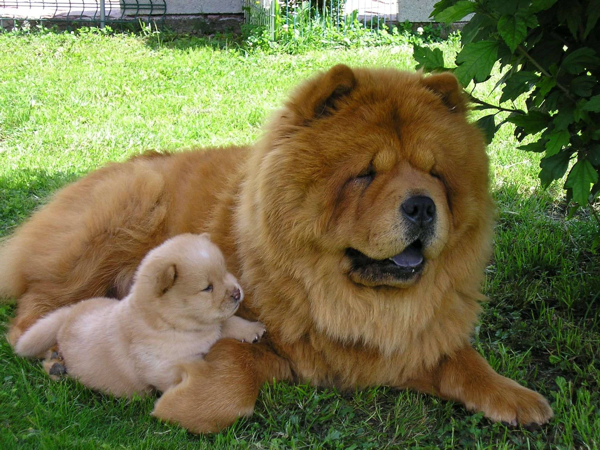 Best Chow Chow Images On Pinterest Chow Chow Friends And - This instagram chow chow looks like a fluffy potato and its so cute it doesnt even look real