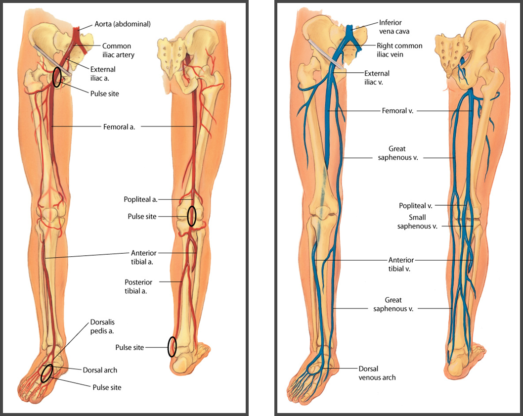 small resolution of left leg femoral artery ch 20 peripheral vascular system lymphatic system