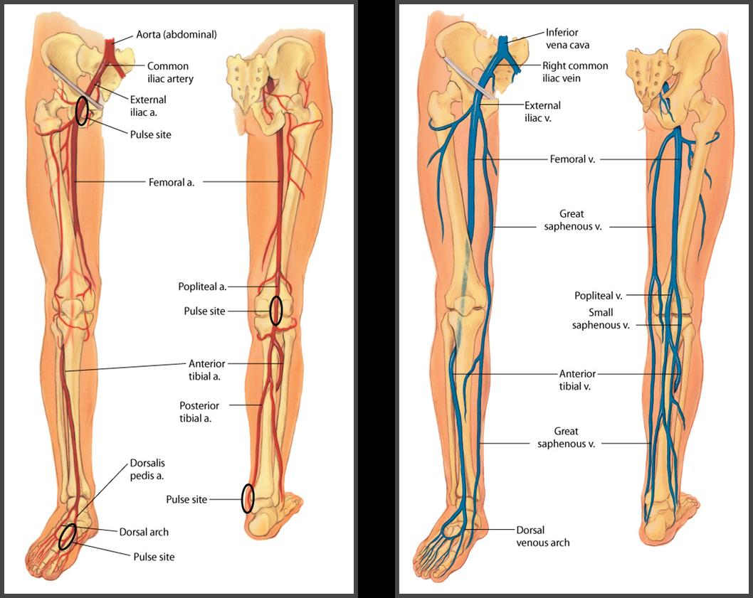 Left leg femoral artery | Ch. 20 Peripheral Vascular System ...