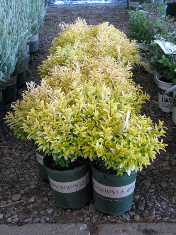 Cuphea Riverdene Gold Gorgeous Color From Visalia Monrovia Nursery Plants Plant