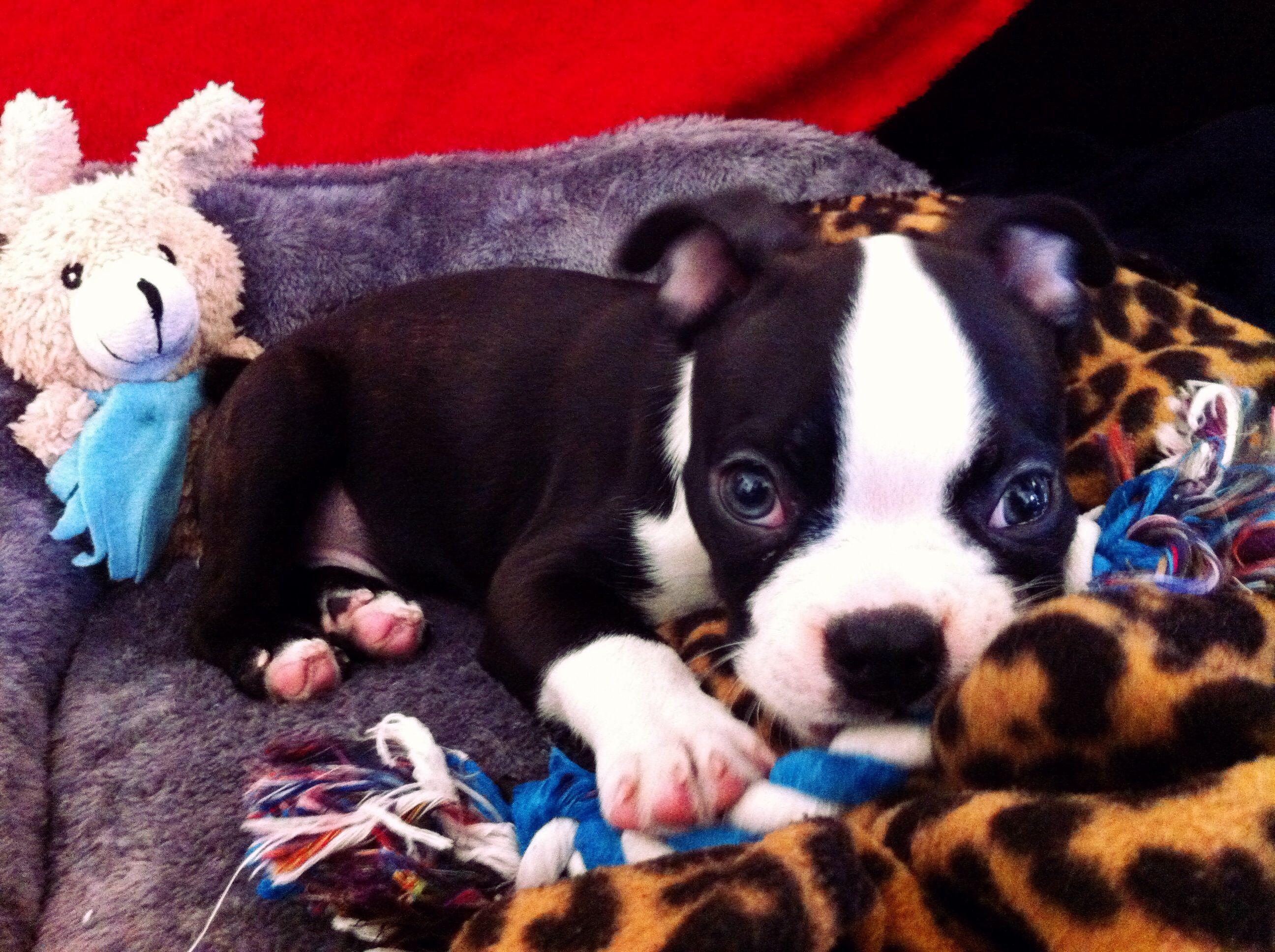 Boston Terrier Puppies Kansasville Wi Ideas