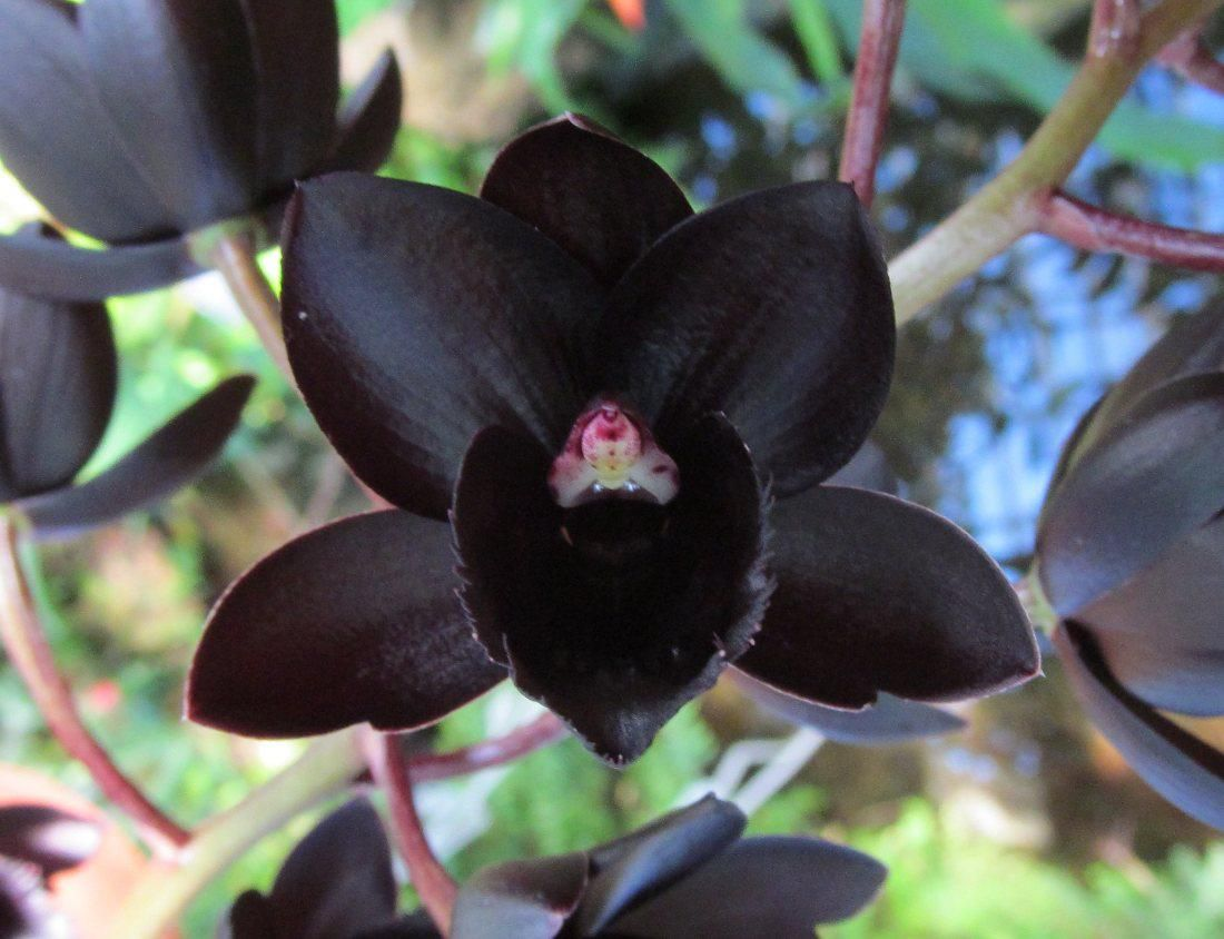 Orchids By Marlow Fredclarkeara After Dark Svo Black Pearl Fcc Aos Orchids Orchid Plants Orchid Flower
