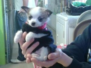 Ralphie is an adoptable Chihuahua Dog in Plattsmouth, NE. not available for adoption until after Feb 28, 2013 Ralphie, Chihuahua & Pomeranian Mix has been shared from Shelter Exchange ....