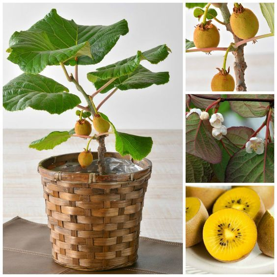 Grow Kiwi 564 564 Buah Bonsai Sayuran