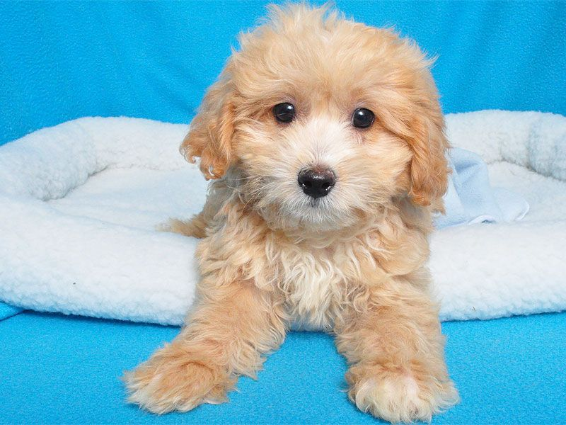 Bichon Poodle Mix Male Bichon Poodle Mix Cute Little Puppies