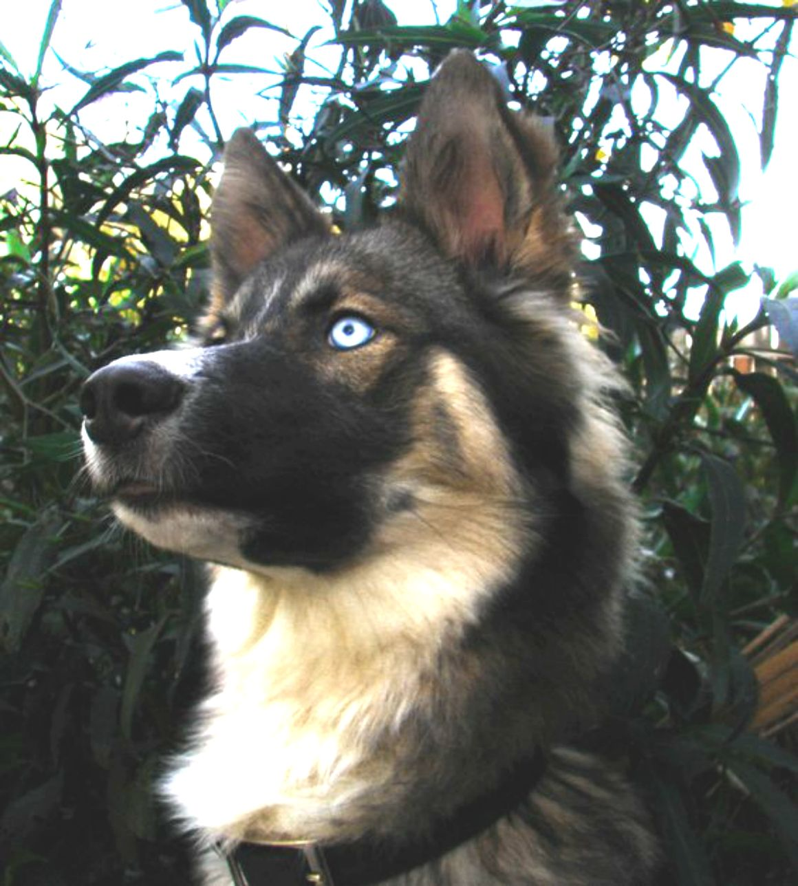 German Shepherd And Australian Shepherd Mix Dogs Dog Breeds
