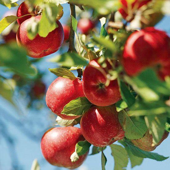 les 25 meilleures id es de la cat gorie arbres fruitiers sur pinterest jardin plant de fruits. Black Bedroom Furniture Sets. Home Design Ideas