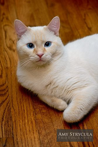 We have a flame point Siamese that looks something like this...he will be 18 years old next month!