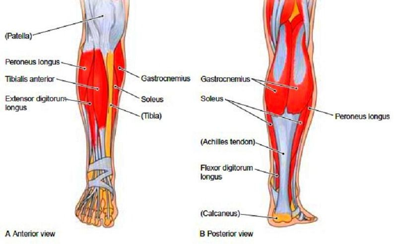 collection lower leg muscles pictures the fashions of paradise : lower leg diagram - findchart.co