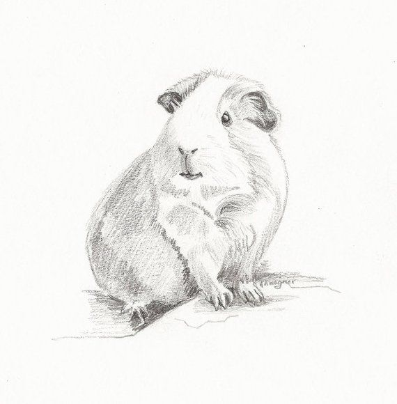 Pin On Guinea Pig Clip Art