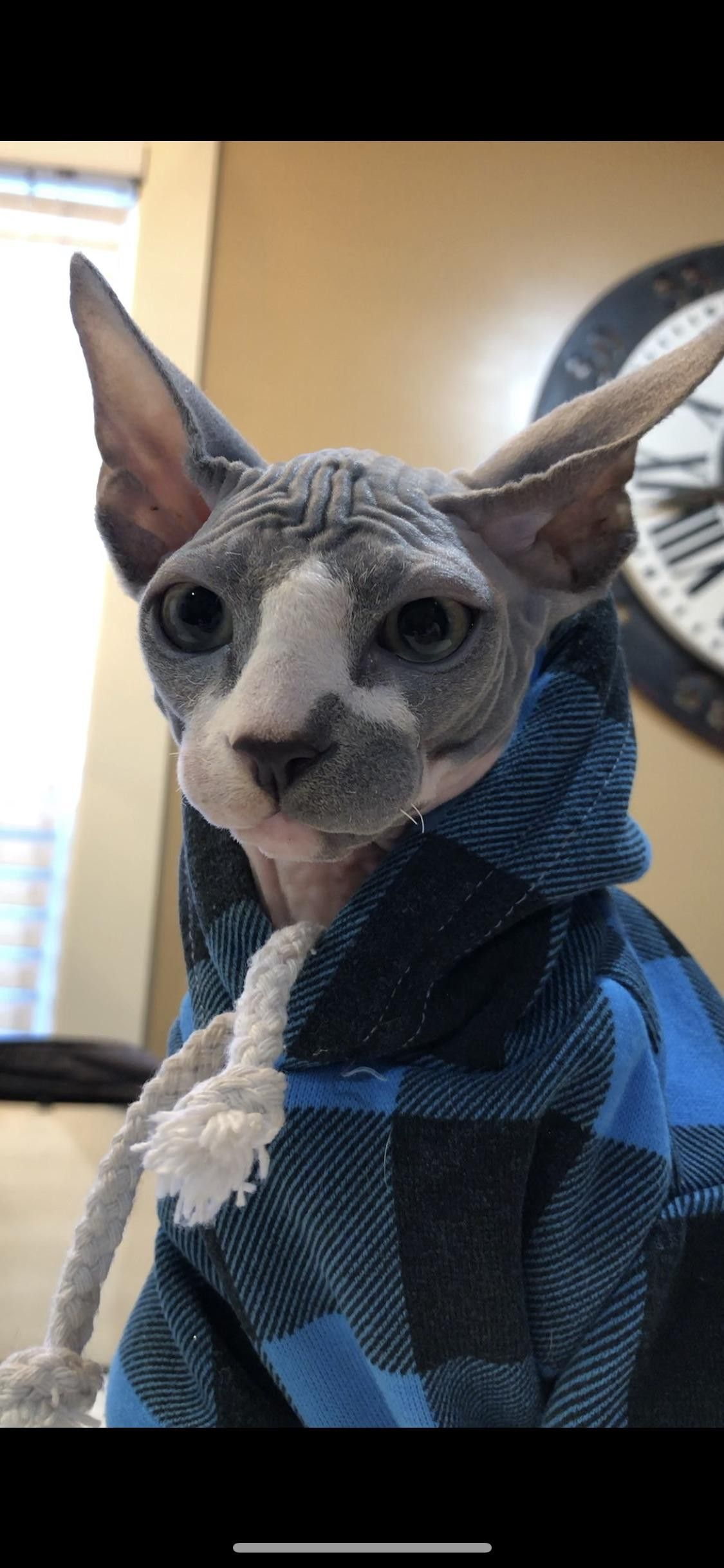 Sphynx Kitty Spinx cat, Devon rex cats, Hairless cat sphynx