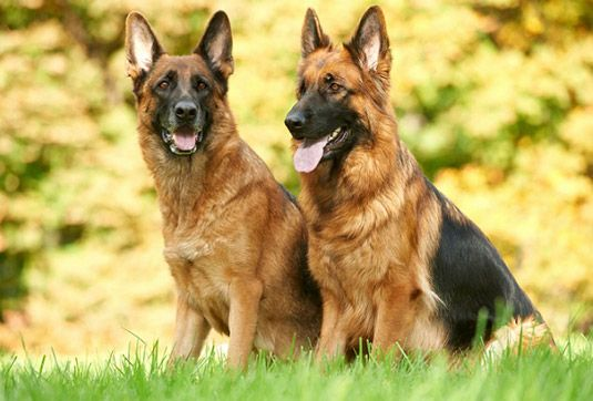 Protection Dogs For Sale Near Me Police K9 For Adoption K9