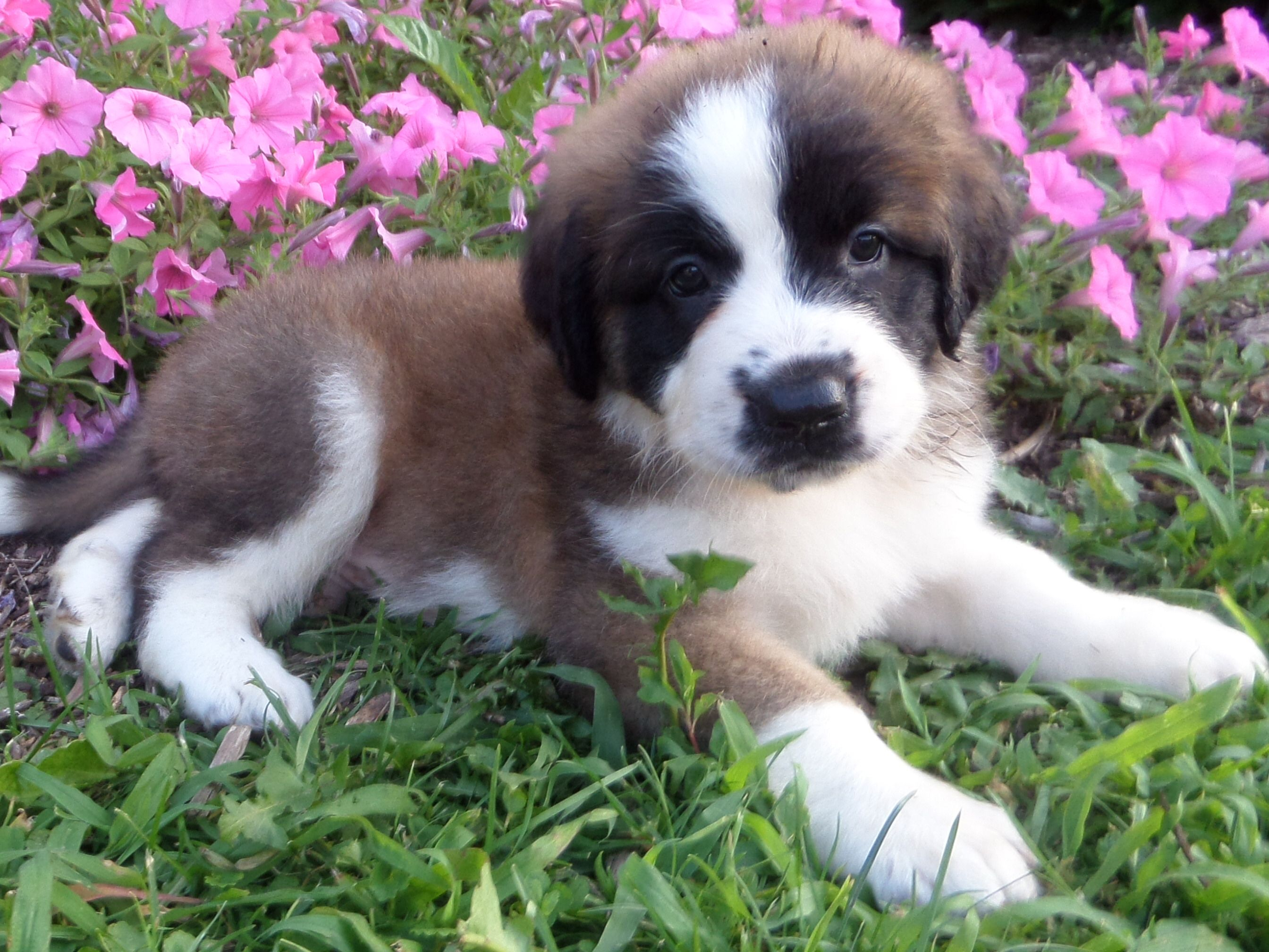 Puppies For Sale With Images Puppies St Bernard Puppy Cute Puppies