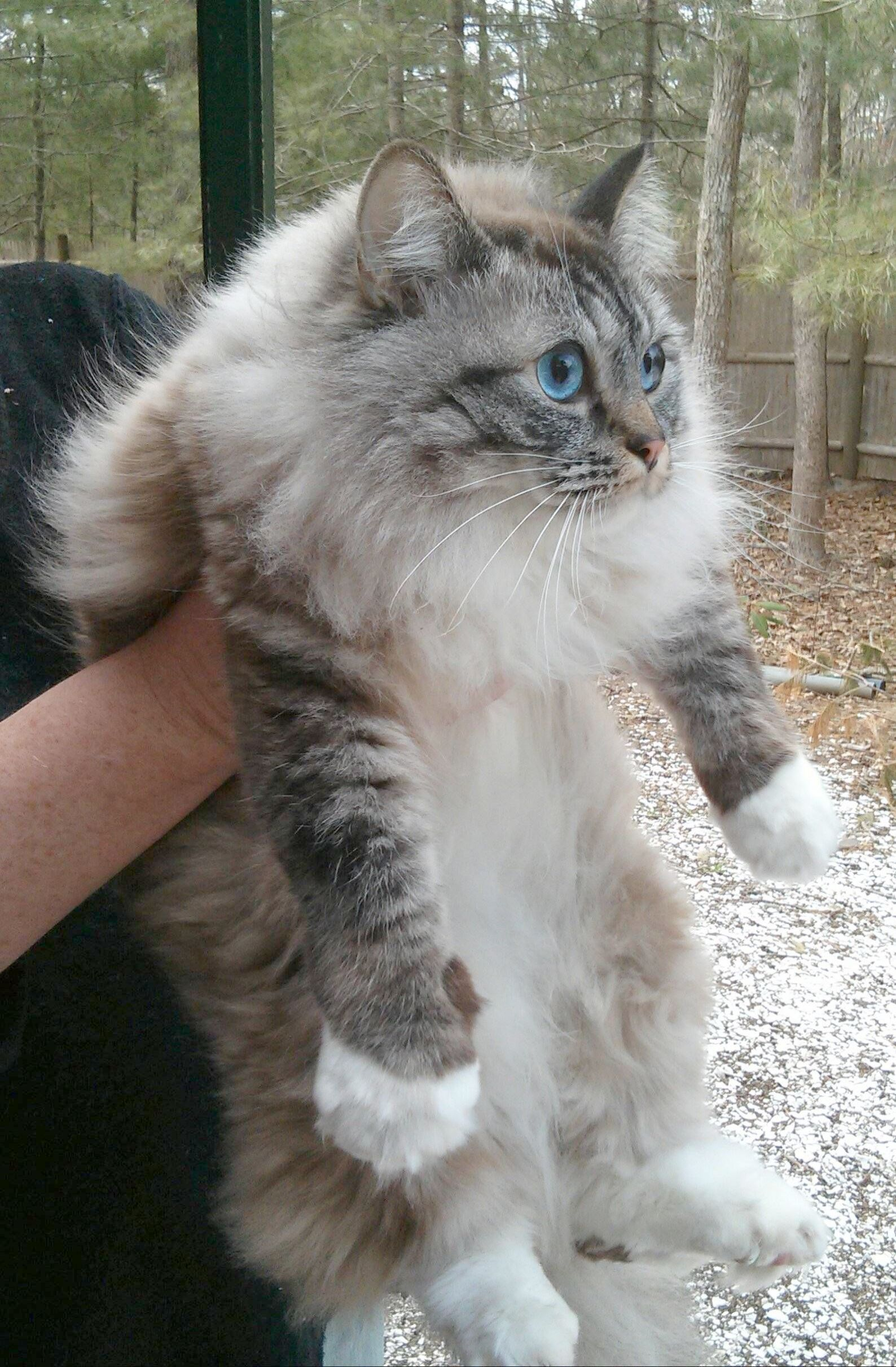 Breathtaking Beautiful Cats For Sale Near Me visit