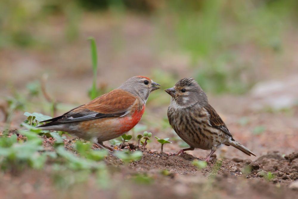 طائر التفاحي جميع المعلومات حوله تربية انتاج تغدية طيور العرب Beautiful Birds Animals Beautiful Kinds Of Birds