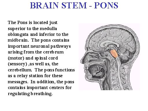 the brain stem pons ventral view middle cerebellar peduncle, Cephalic Vein