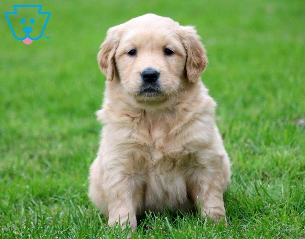 Tweety Golden Retriever Puppy For Sale Keystone Puppies Goldenretriever Keystonepuppies Golden Retriever Golden Retriever Puppy Puppies
