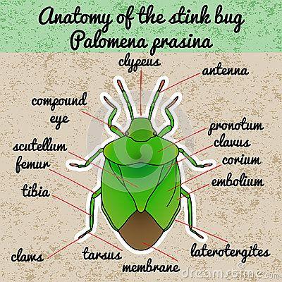 insect-anatomy-shield-bug-palomena-prasina-sketch-design-coloring ...