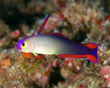 Purple Fire Fish Nemateleotris Decora Saltwater Fish Tanks Reef Safe Fish Fish