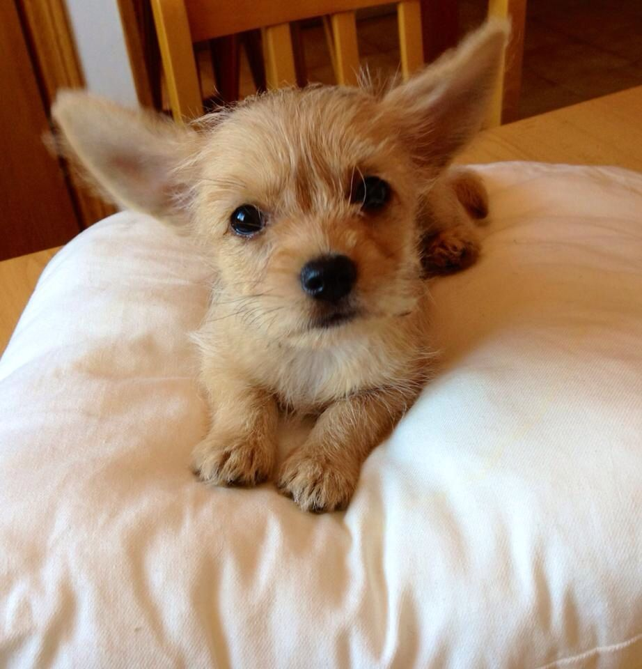 2 Months Old Chorkie Medo Cute Dogs Cute Dogs And Puppies Cute Funny Animals